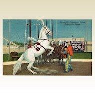 Circus Postcard Horse Performing / Gainesville Community Circus / Gainesville Texas