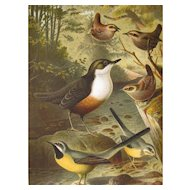 1885 Chromolithograph Bird Print by Louis Prang Dipper Wagtails and Wren / Home Decor / Wall Hanging / Office Decor
