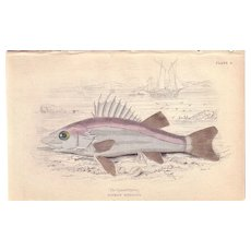 1840 Detailed Engraving by William Lizars, NIPHON SPINOSUS