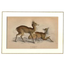19th Century Engraving by Lizars, Matted, THE PITA BROCHET