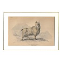 19th Century Engraving by Lizars, Matted, WOOL BEARING ANTELOPE