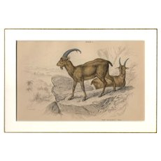 19th Century Engraving by Lizars, Matted, THE AEGAGRUS
