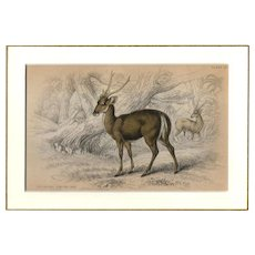 19th Century Engraving by Lizars, Matted, THE BROWN PORCINE AXIS