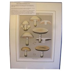 Original Color-Lithograph Edible Mushrooms & Fungi, Charles Peck