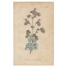 Lovely Colored Engraving from Curtis Botanical Magazine, CA 1812