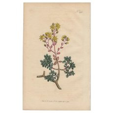 Lovely Colored Engraving from Curtis Botanical Magazine, Ca. 1813