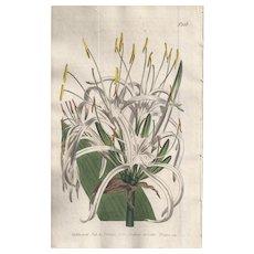 Lovely Engraving from William Curtis BOTANICAL MAGAZINE