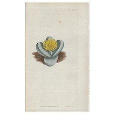 Lovely Colored Engraving from Curtis Botanical Magazine., ca 1813