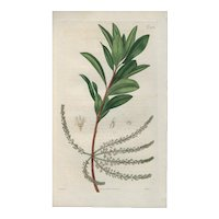 Lovely Colored Engraving from Curtis Botanical Magazine, ca 1814