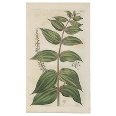 Lovely Colored Engraving from Curtis Botanical Magazine, Ca. 1814
