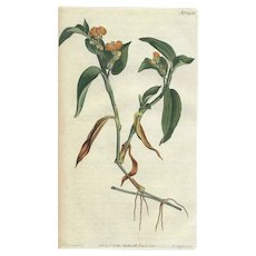 Lovely Antique Botanical Print from Curtis Botanical Magazine