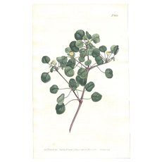 Lovely CURTIS Botanical Print circa 1806 LONG-STALKED SPURGE