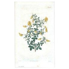 Lovely CURTIS Botanical Print circa 1823 SMALL-LEAVED REST-HARROW