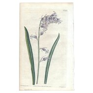 Lovely CURTIS Botanical Print circa 1812 PINK-COLORED HAREBELLS