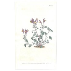 Lovely CURTIS Botanical Print circa 1803 LARGE-FLOWERED SCUTELLARIA
