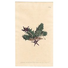Lovely Colored Engraving from Curtis Botanical Magazine, Ca. 1803