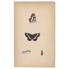 Lovely Hand-Colored Engraving Butterfly WHITE ADMIRAL, Morris