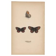 Lovely Hand-Colored Engraving Butterfly Arran Argus, Morris