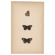 Lovely Hand-Colored Engraving Butterfly Scotch Argus, Morris