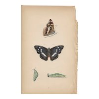 Lovely Hand-Colored Engraving Purple Emperor Butterfly, Morris