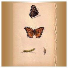 Lovely Butterfly Print, Large TORTOISE-SHELL Plate XXIX