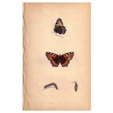 Lovely Butterfly Print, Small TORTOISE-SHELL, Plate XXX