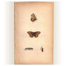 Lovely Colored Plate from Morris Butterfly Book, QUEEN OF SPAIN FRITILLARY