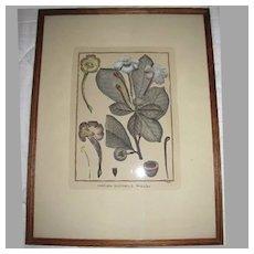 Lovely Framed Botanical Hand-Colored Copper Engraving, Scattaglia