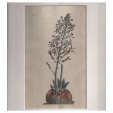 """Lovely Hand-Colored Engraving from """"The Botanical Magazine"""", Curtis"""