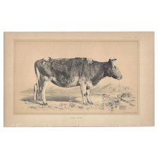 Bi-Color Lithograph C. 1888 Julius Bien DUN COW