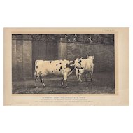 Bi-Color Lithograph AYSHIRE COWS Julius Bien 1888