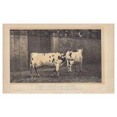 Bi-Color Lithograph AYSHIRE COWS Julius Bien 1888