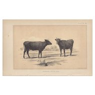 Bi-Color Lithograph ANGELER PRIZE COW c. 1888 Julius Bien
