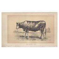 Bi-Color Lithograph PARTHENAISE COW c. 1888 Julius Bien