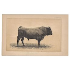 Bi-Color Lithograph C. 1888 Julius Bien HARZ BULL