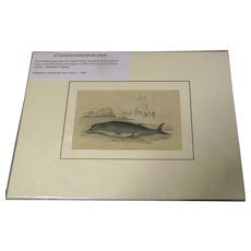 19th Century Engraving by LIZARS, Matted, THE HYPERROODON