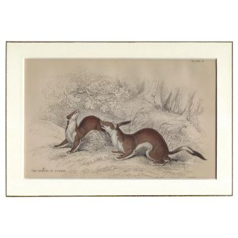 19th Century Engraving by LIZARS, Matted, THE ERMINE In Summer
