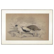 19th Century Engraving by LIZARS, Matted, The Greenland of Harp SEAL