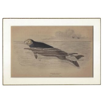 19th Century Engraving by LIZARS, Matted, The SEA OTTER