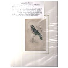 19th Century Engraving by Joseph B. Kidd, Red-Naped PARRRAKEET, Matted