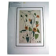 Wonderful Original Botanical Engraving, Commelin 1697-1701