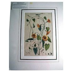 Wonderful Original Botanical Engraving, Commelin 1697-1701