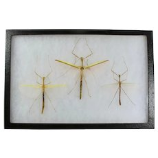 Three Stick Insects In Entomological Display Case