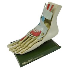 Anatomical Foot Model With Removable Skin, Tendons, & Bones