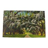 Louisiana Spanish Moss Oak Trees Postcard Unused
