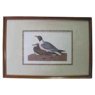 """Black-headed Gull"" Engraving Drawn in Nature by J.J. Audubon No. 63 Plate CCCXIV"