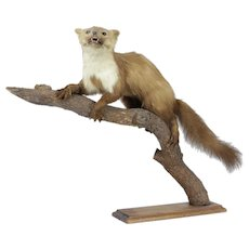 Taxidermy French Fouine / Mink / Pine Martin