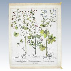 Basil (Basilius) Besler (1561-1629)Hand Colored Print from the book  'Hortus Eystettensis'