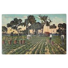 c. 1900 'Lettuce Field, Palmetto, Florida' Postcard ~ Black Americana Memorabilia