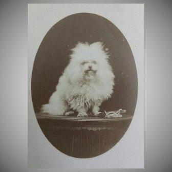 "Antique, ""Carte de Visite"", Dog,  French Cabinet Card"
